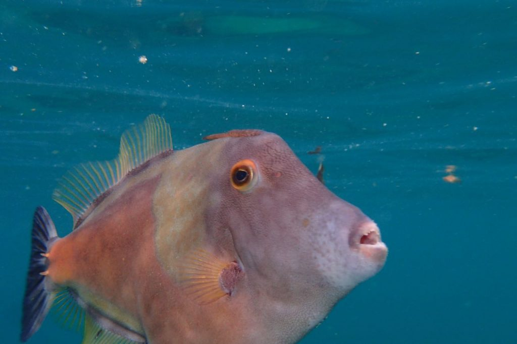 White Spotted Filefish