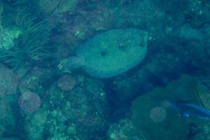 Peacock Flounder, Tobago