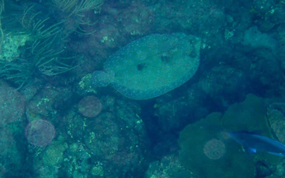 Peacock Flounder and Castara Bay
