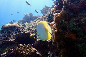 Spot Fin Butterfly Fish