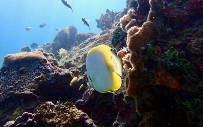 Butterfly Fish in Tobago