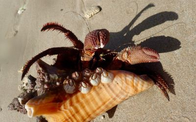 Giant Hermit Crab in Conch Shell