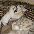 Cats for sale from bengal cat breeder bengal cat breeder florida