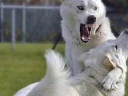 Husky aggression