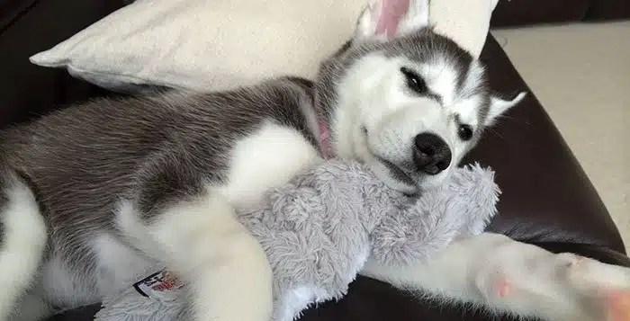 High Calorie Food For Picky Or Sick Huskies Snowdog Guru