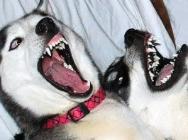 Huskies Fighting