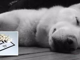 Zinc Deficiency in Huskies