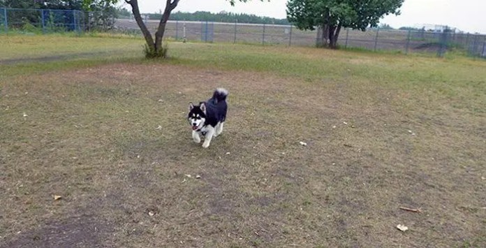 Husky Coming on Command