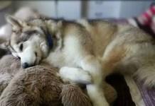 Living with a sick husky