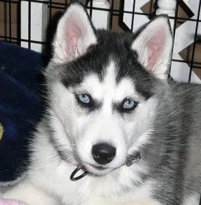 Angel Husky Puppy
