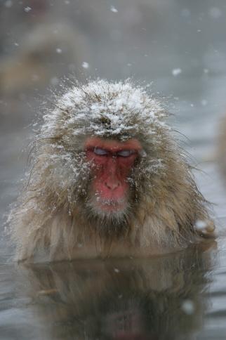 The Snow Monkeys Of Jigokudani Japanese Macaque Monkeys