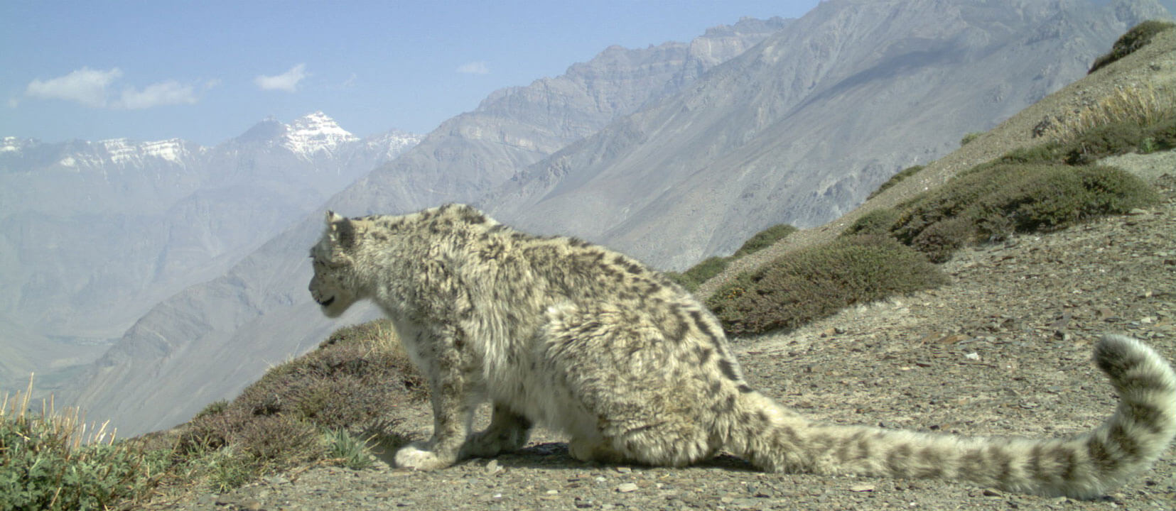 hight resolution of snow leopard facts