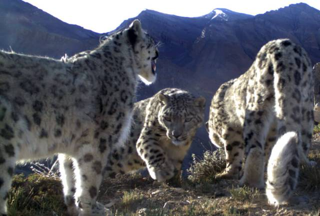 A snow leopard mother and her two subadult cubs in Spiti, India. Photo: NCF India / Snow Leopard Trust