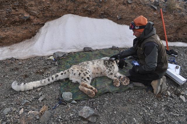 Örjan Johansson, collaring a wild snow leopard in Mongolia