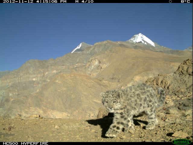 a wild snow leopard cub, caught on research camera in India