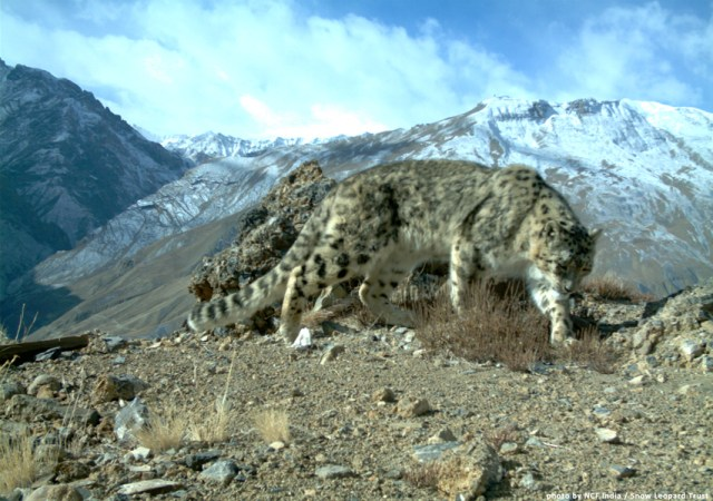 Snow leopard habitats in India's Spiti valley aren't as untouched as they once were.