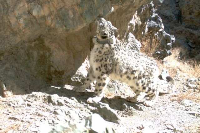 One of the cats we've tracked with a GPS collar makes an appearance in front of a research camera in Tost, Mongolia. Photo: SLCF / Snow Leopard Trust