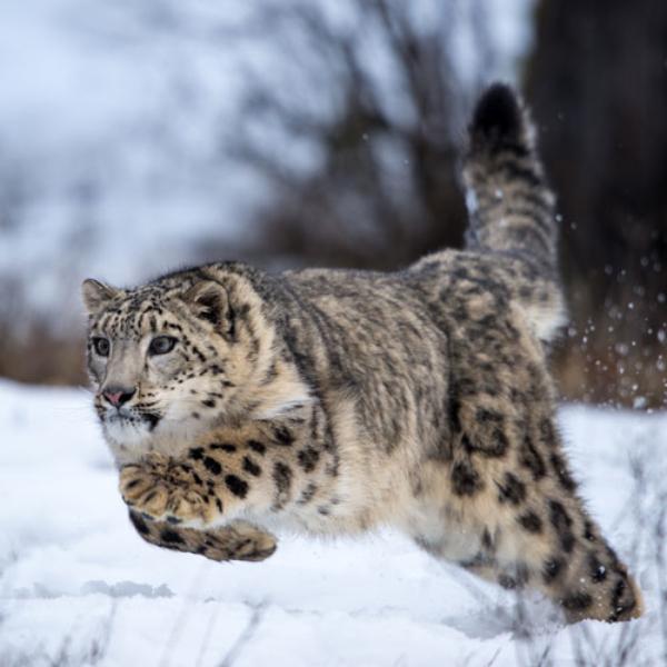 Running Snow Leopard Paul Sangeorzan