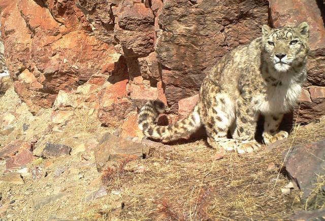 The snow leopard is facing an uncertain future.
