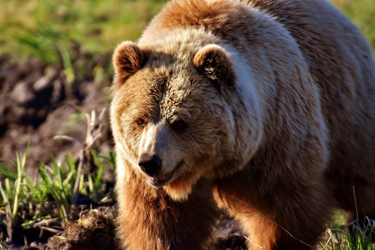 Europese bruine beer. Pixabay