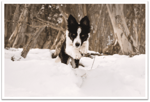 Take your dog to the snow in Australia this winter