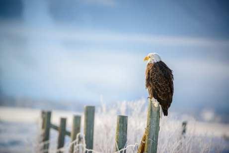bald eagle grand teton park