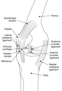 diagram on the knee