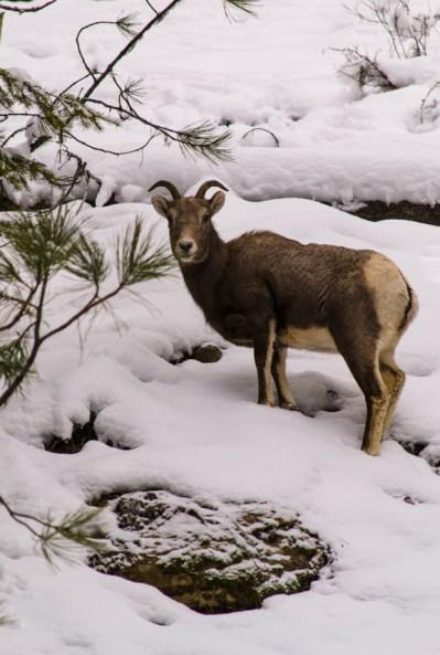 bighorn sheep on Berray Mountain, Montana