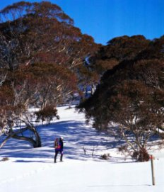 person snowshoeing in Kosciuszko National Park with trees in background