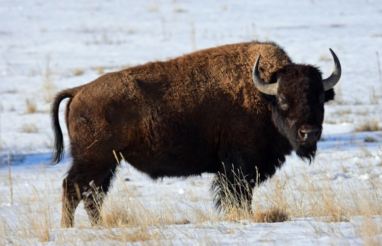 snowshoeing near Denver CO: bison in snow at RM Arsenal