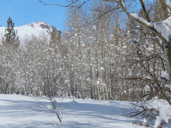 many thin trees