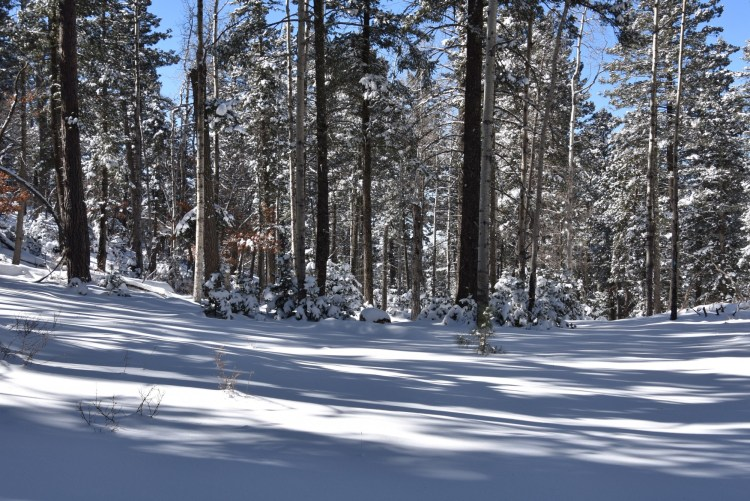 snowshoeing in New Mexico: aspens and pines lined up on a snowy trail