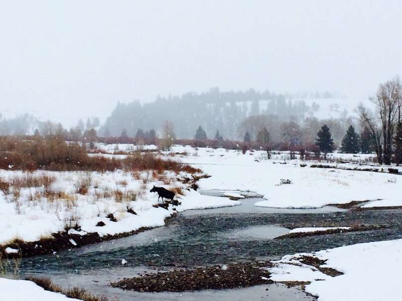 Moose crossing the icy Gros Ventre River.