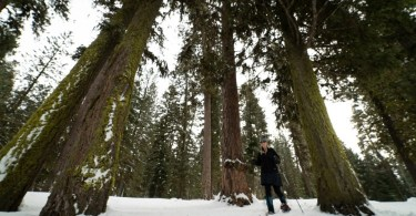 woman snowshoeing among large trees in McCall Idaho