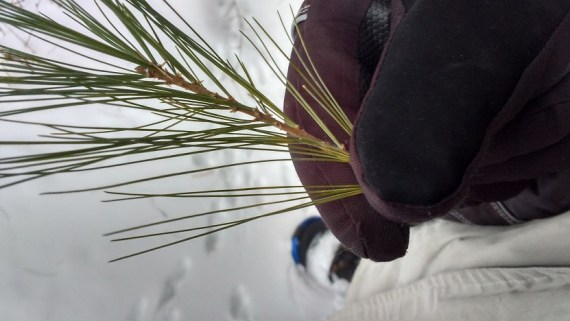 up close photo of gloved hand holding pine needles