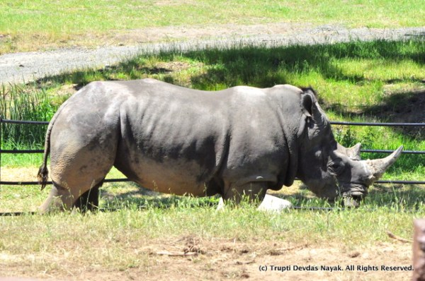 Rhino_Safari_West