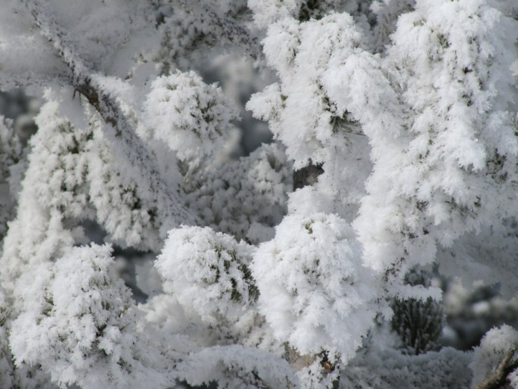 snow crystals on pine trees