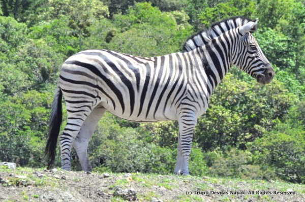 Zebras_Safari_West