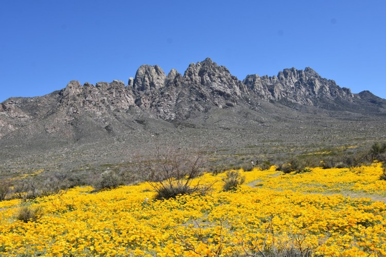 yellow flowers blooming in mountains under blue sky