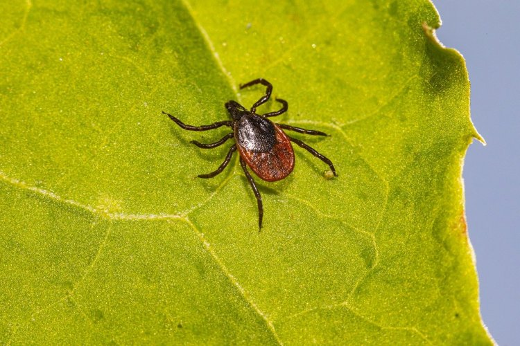 black legged tick (deer tick) on a leaf