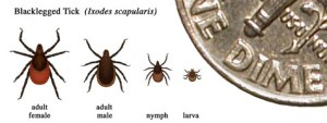 Learn to identify the black-legged tick http://www.cdc.gov/lyme/transmission/blacklegged.html
