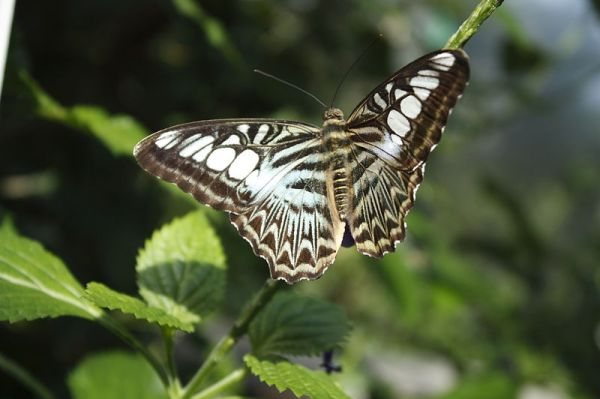 800px-Butterfly_in_Victoria_Gardens