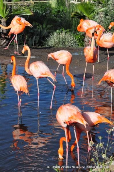 Flamingos_Safari_West