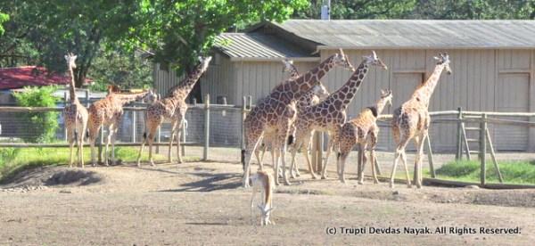 Giraffe_lineup