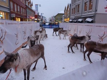 Reindeer racing on the main street of Tromsø, part of the Sami Festival held each year.