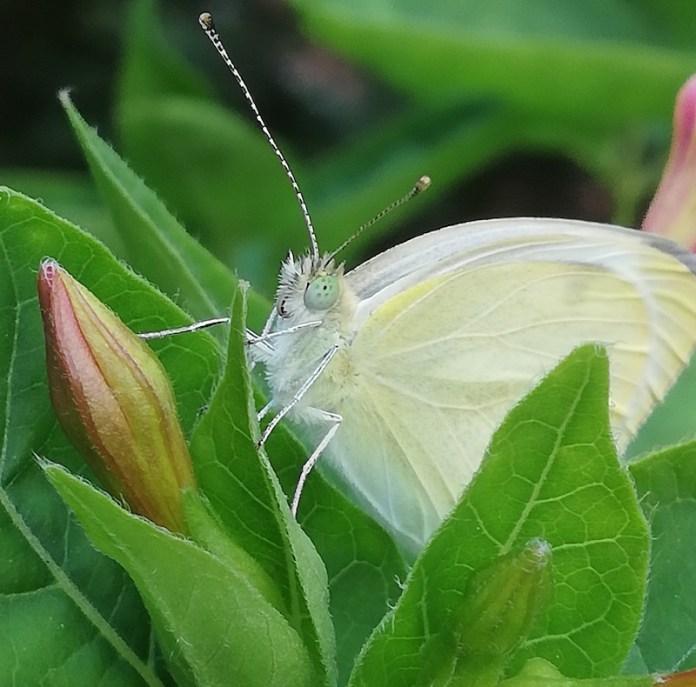 La Farfalla là!