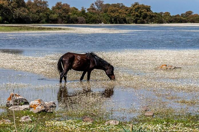 Wildlife - Cavallino della Giara di Tuili