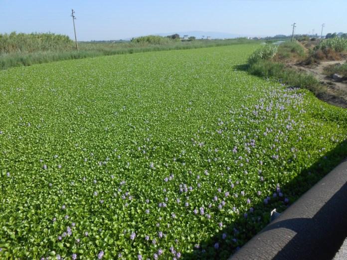 Fioritura Giacinto d'acqua ( Eichhornia crassipes ) - Santa Giusta (OR)