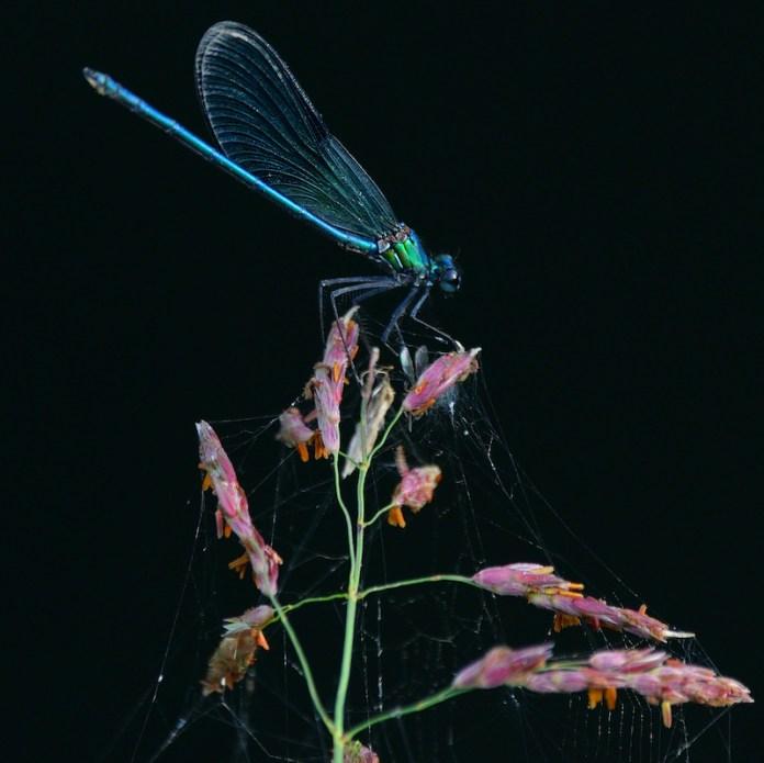 La bella libellula