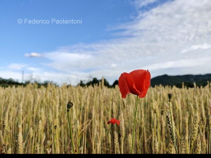 Papavero solitario in un campo di grano presso Orte